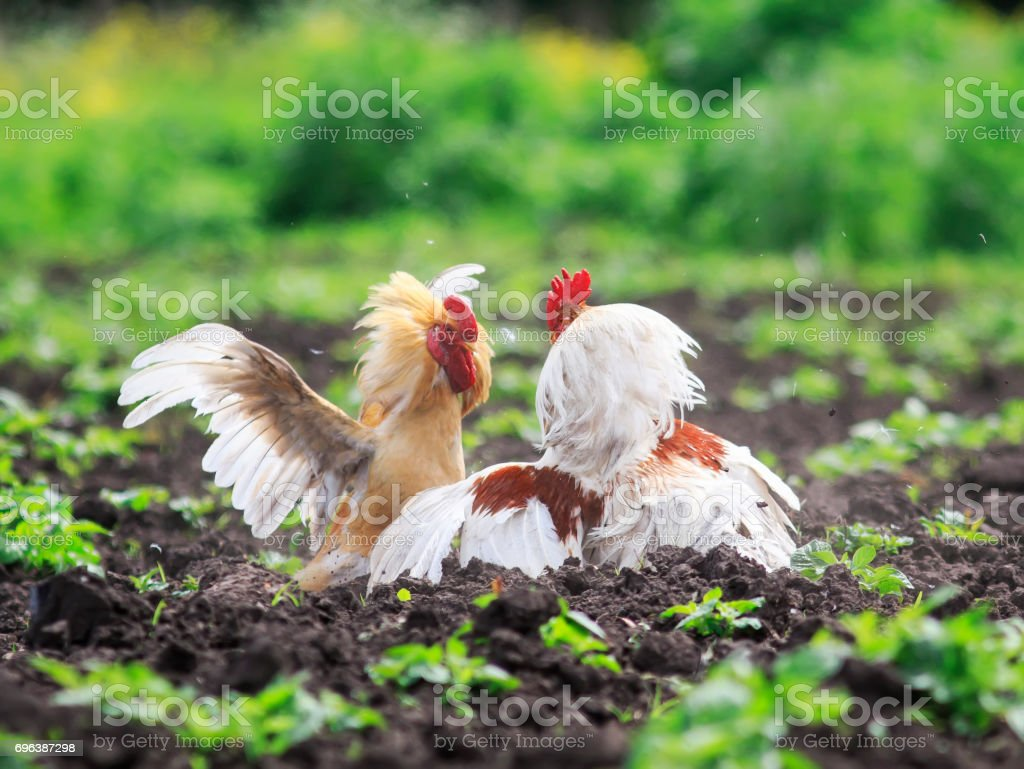 two cocky rooster on the farm are going to fight for the championship stock photo