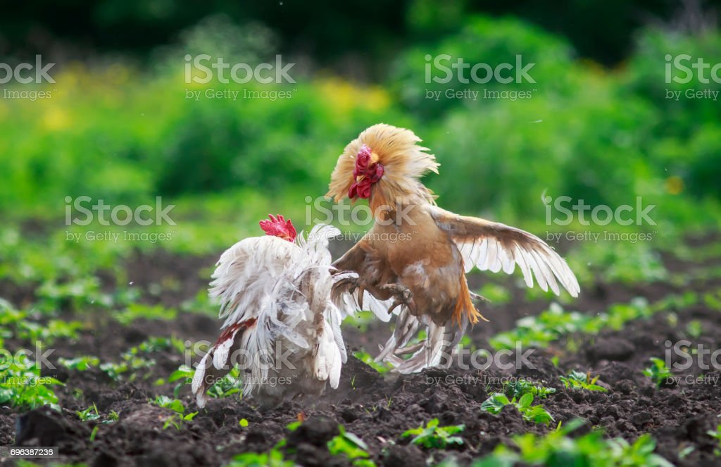 two cocky young rooster was going to put up a fight for supremacy in the garden in the summer stock photo