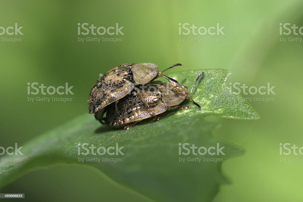 two coleoptera insects is making love royalty-free stock photo