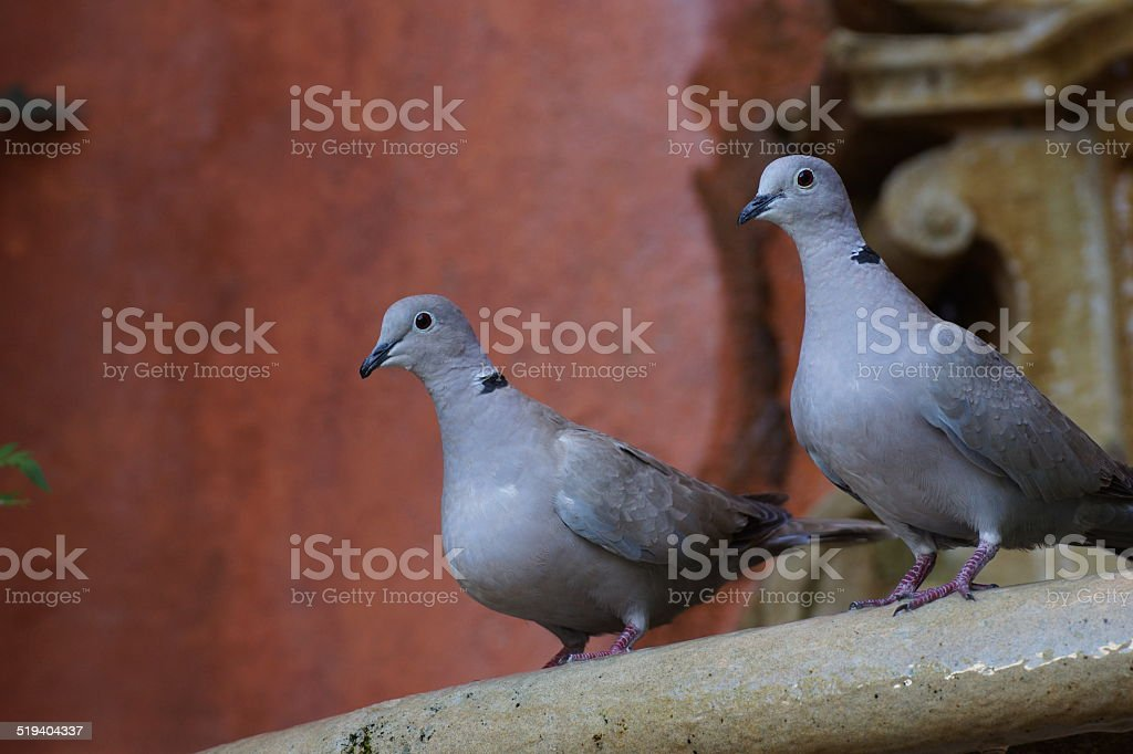 Two collared doves sitting on a fountain's rim stock photo