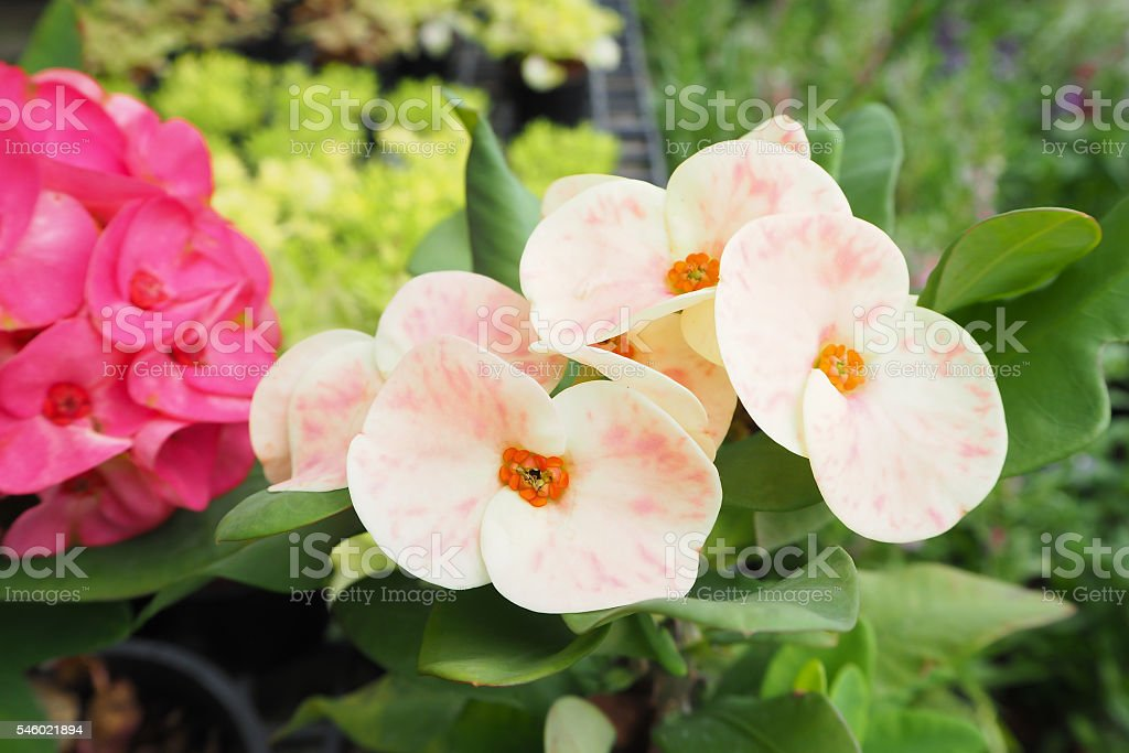 Two color of Poi Sian flowers. stock photo