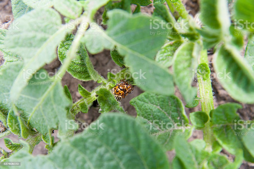Two colorado beetles (potato beetle) sitting on potato leaves. stock photo
