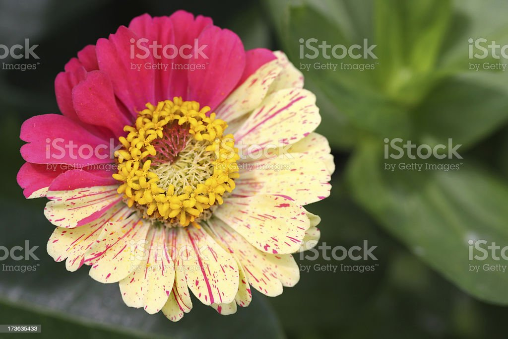 Two colored flower (pink and yellow), close-up royalty-free stock photo