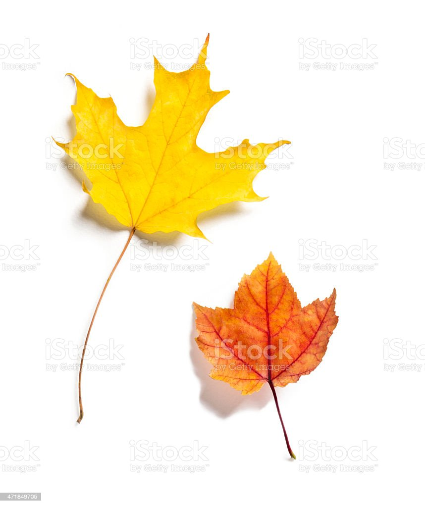 Two Colorful Autumn Leaves with shadows on white background stock photo