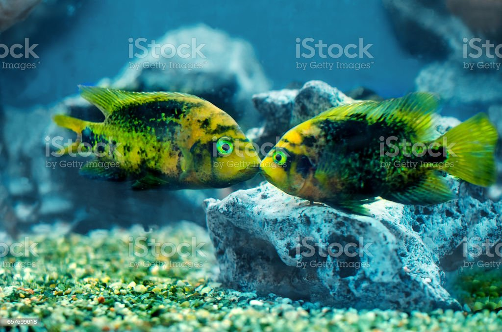 Two colorful exotic fish swiming in the aquarium stock photo