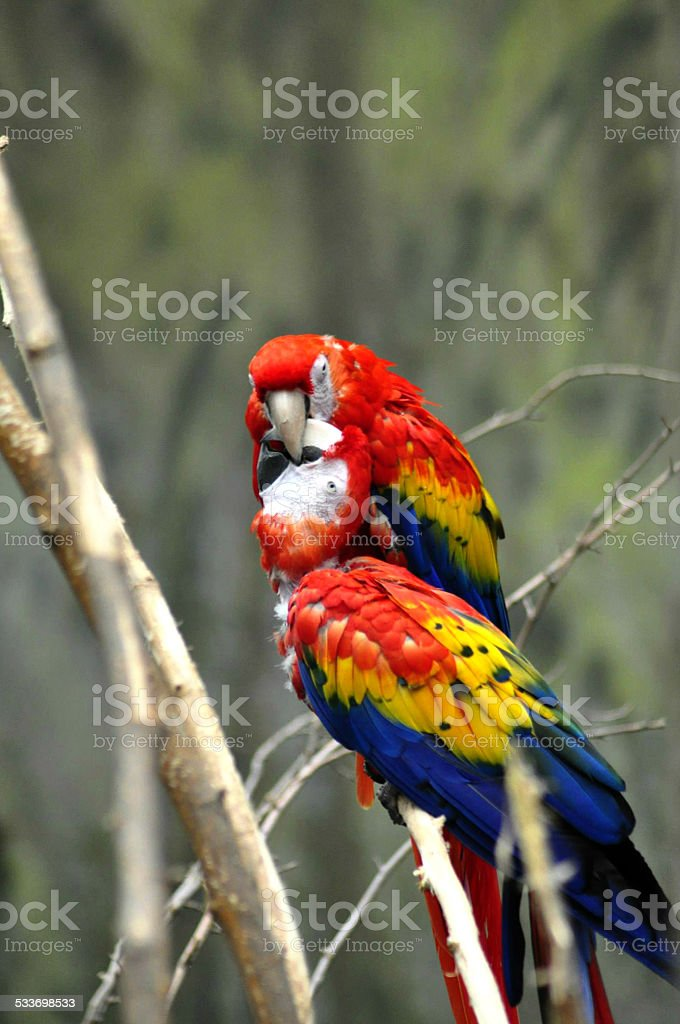 Two Colorful Parrots on a Branch with Beaks Hooked Together stock photo
