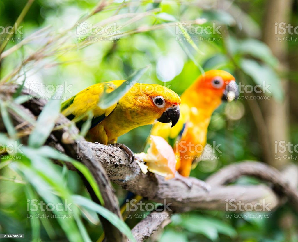 Two colorful parrots stock photo