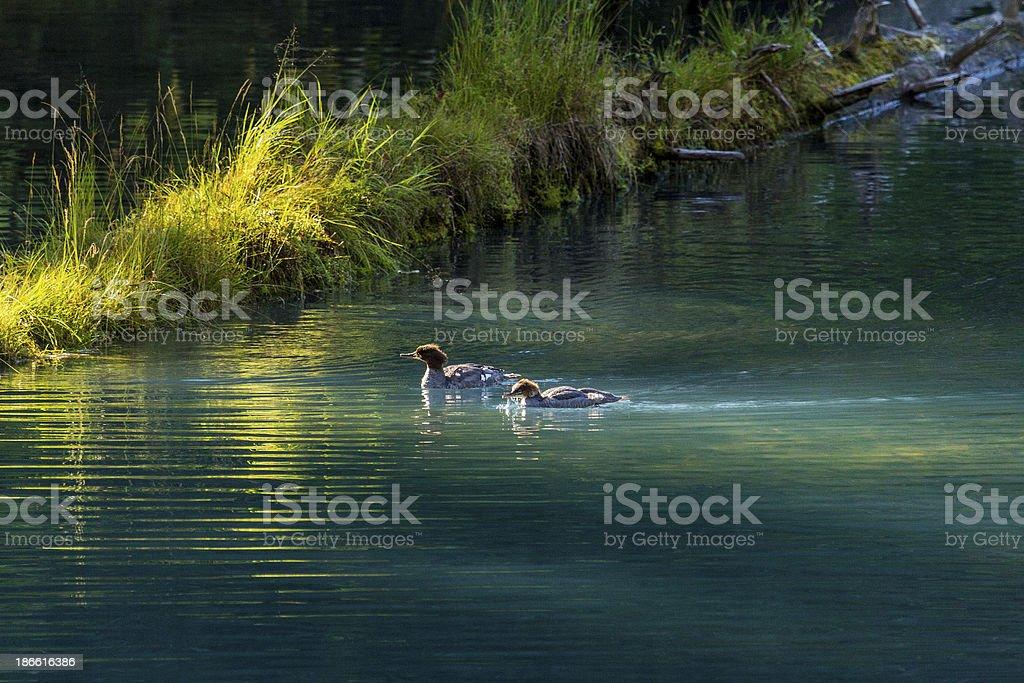 Two Common Mergansers swimming in lagoon stock photo