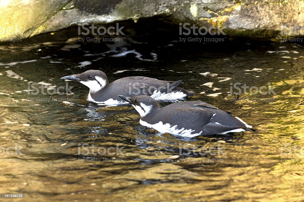Two Common Murres stock photo