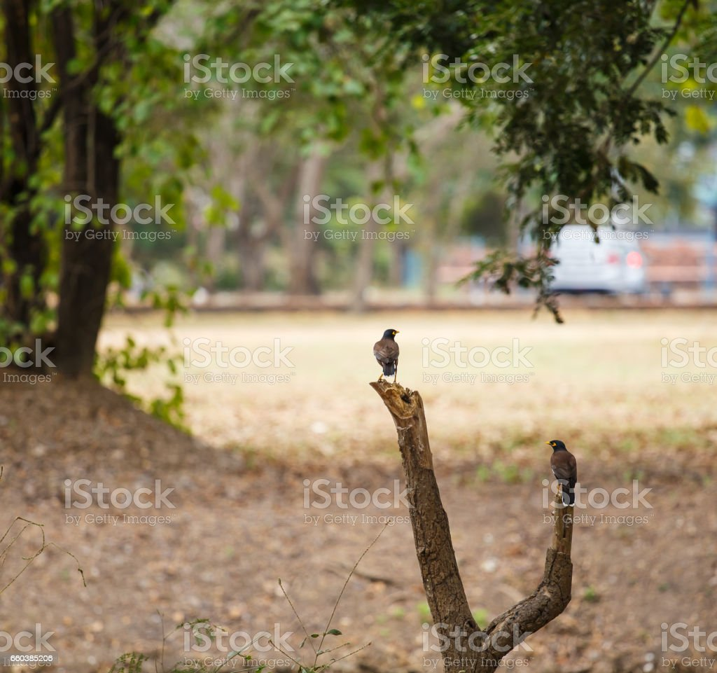 Two Common Myna birds on a wooden. stock photo