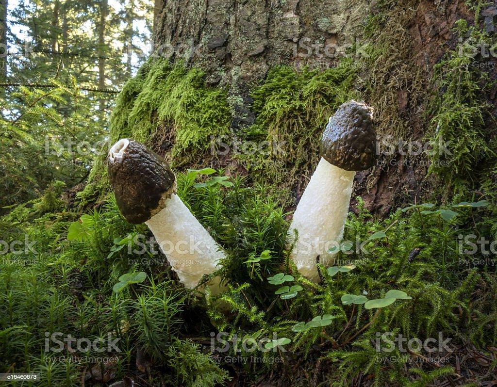 Two common stinkhorns - Phallus impudicus stock photo