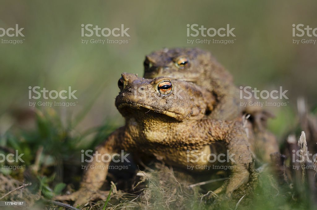 Two common toads royalty-free stock photo