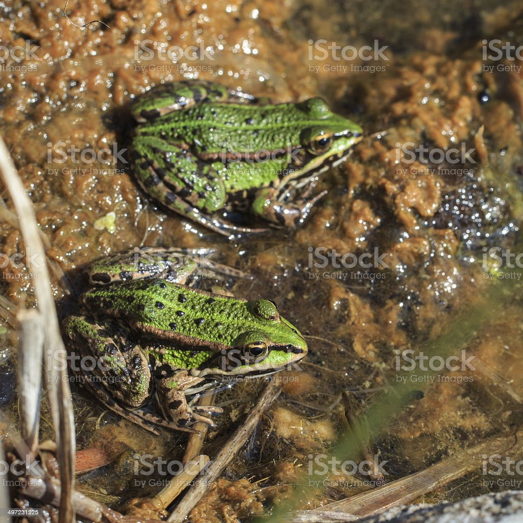 Two common water frogs at the water stock photo