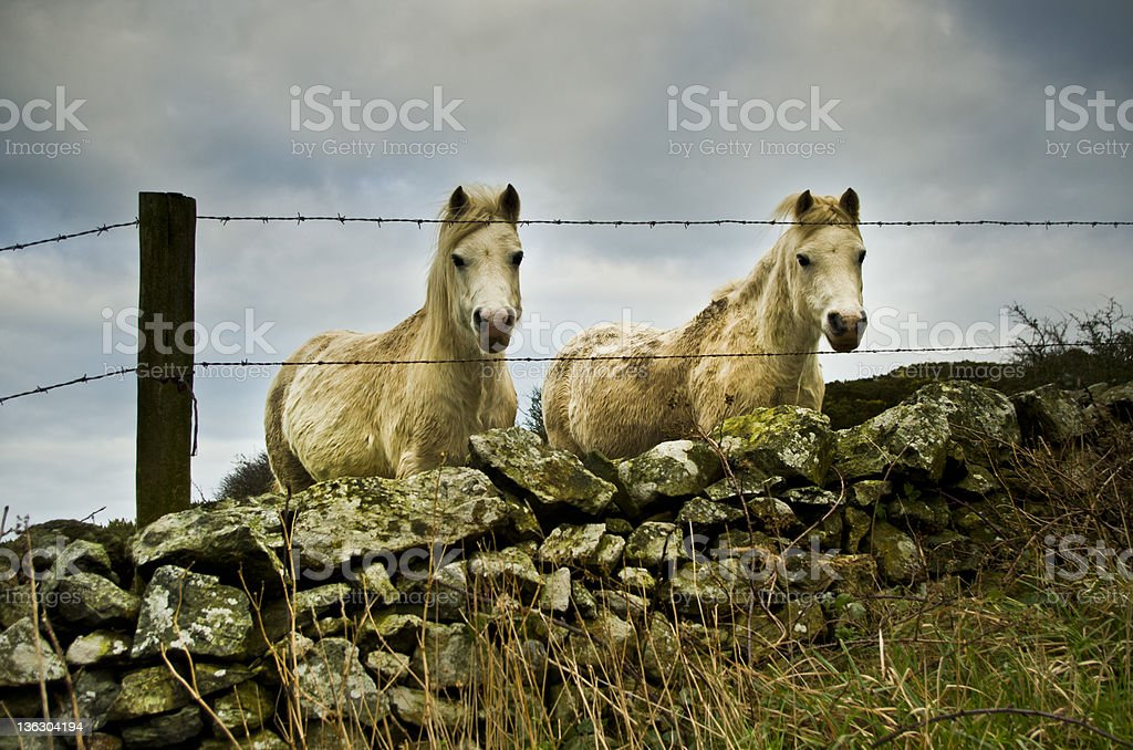 Two Compounded Horses Think Freedom royalty-free stock photo