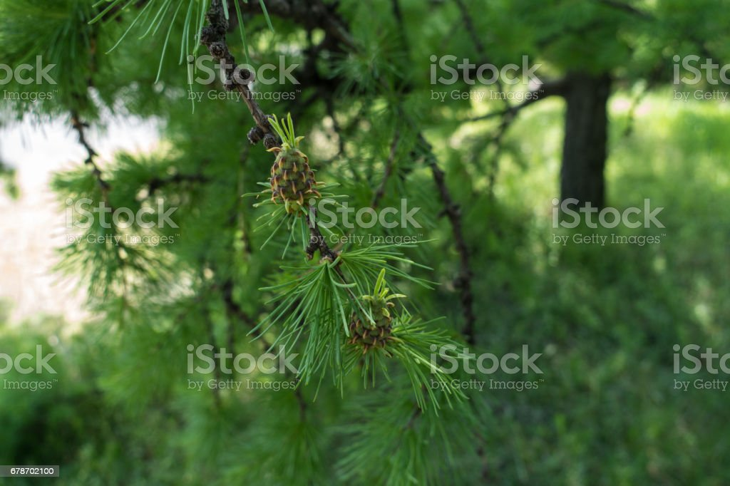 Two cones on the branch of larch in spring stock photo