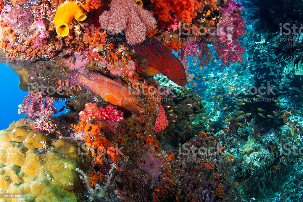 Two Coral groupers Hunting In Colorful Reef stock photo