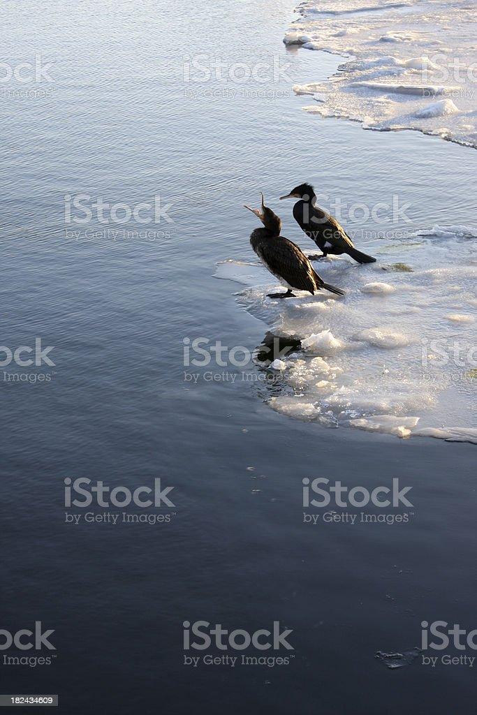 Two cormorants on ice stock photo