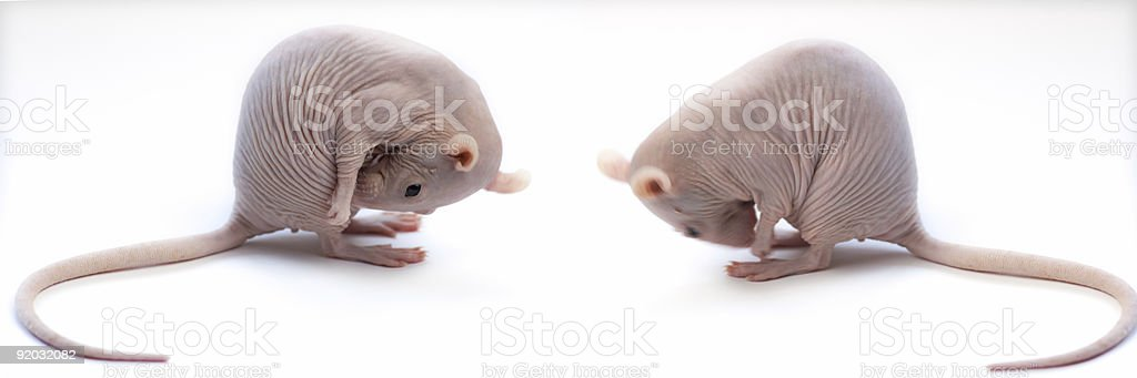two courteous rats royalty-free stock photo