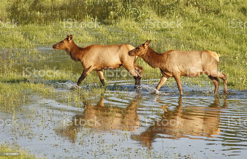 Two cow elk crossing flooded area. stock photo