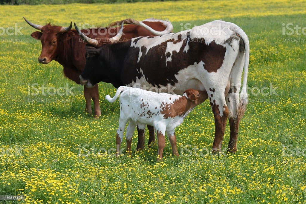 Two cows and a calf stock photo