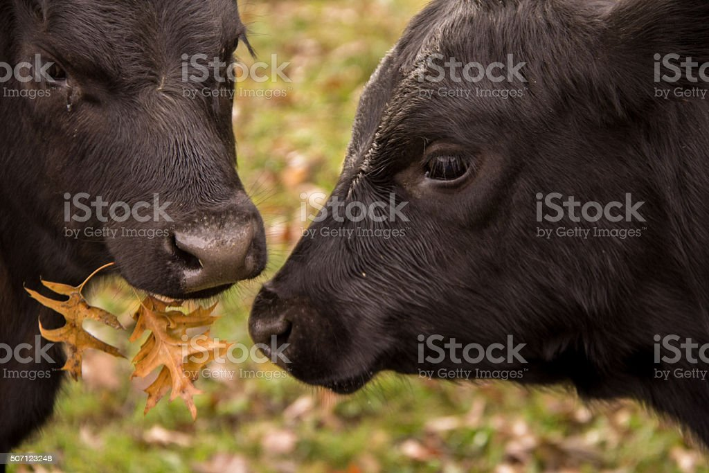 Two Cows Chewing Leaves stock photo