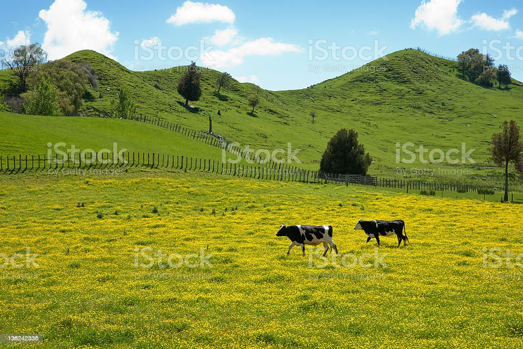 Two cows crossing field. royalty-free stock photo