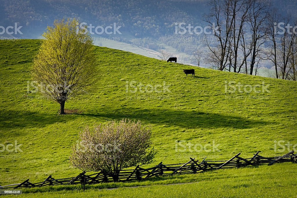 Two cows graze in green mountain pasture. royalty-free stock photo