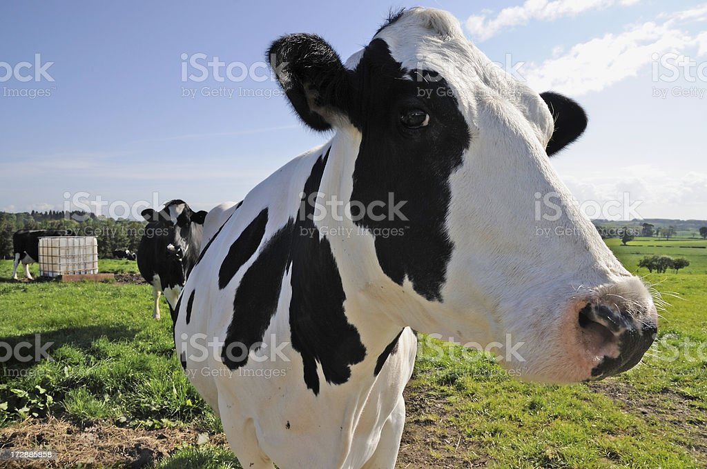 Two cows in a field royalty-free stock photo