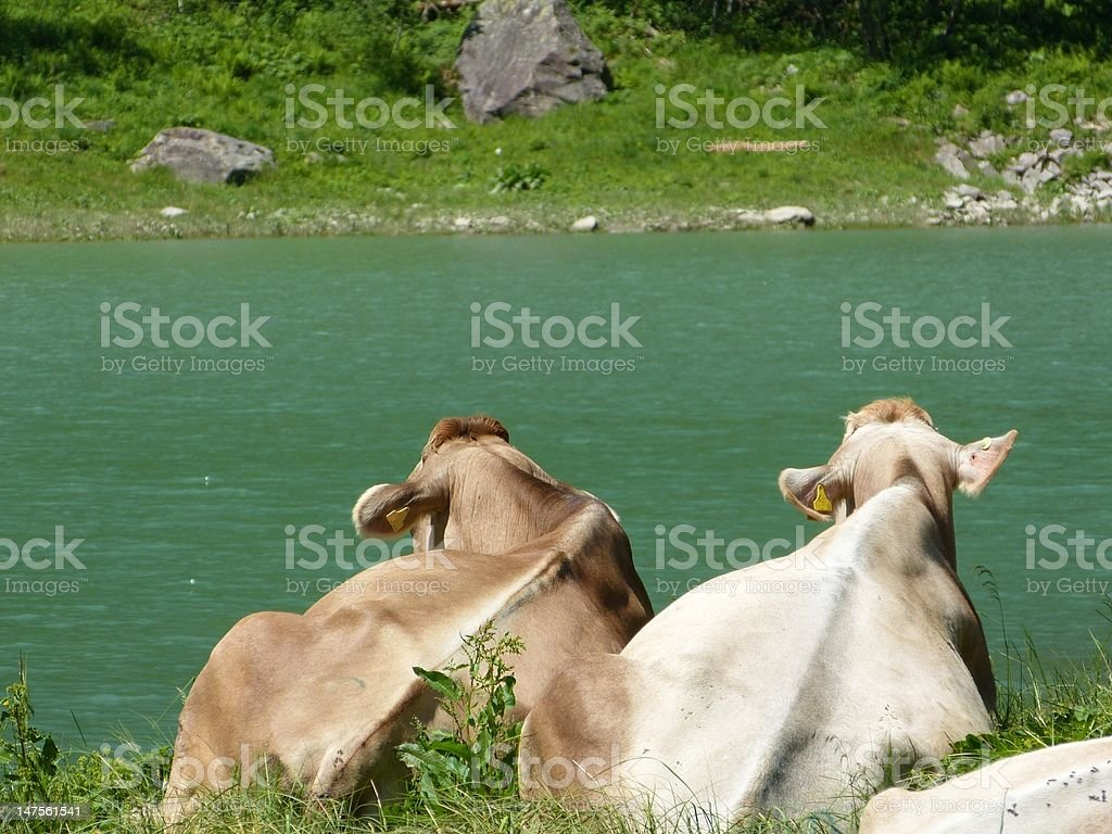 two cows look on the lake royalty-free stock photo