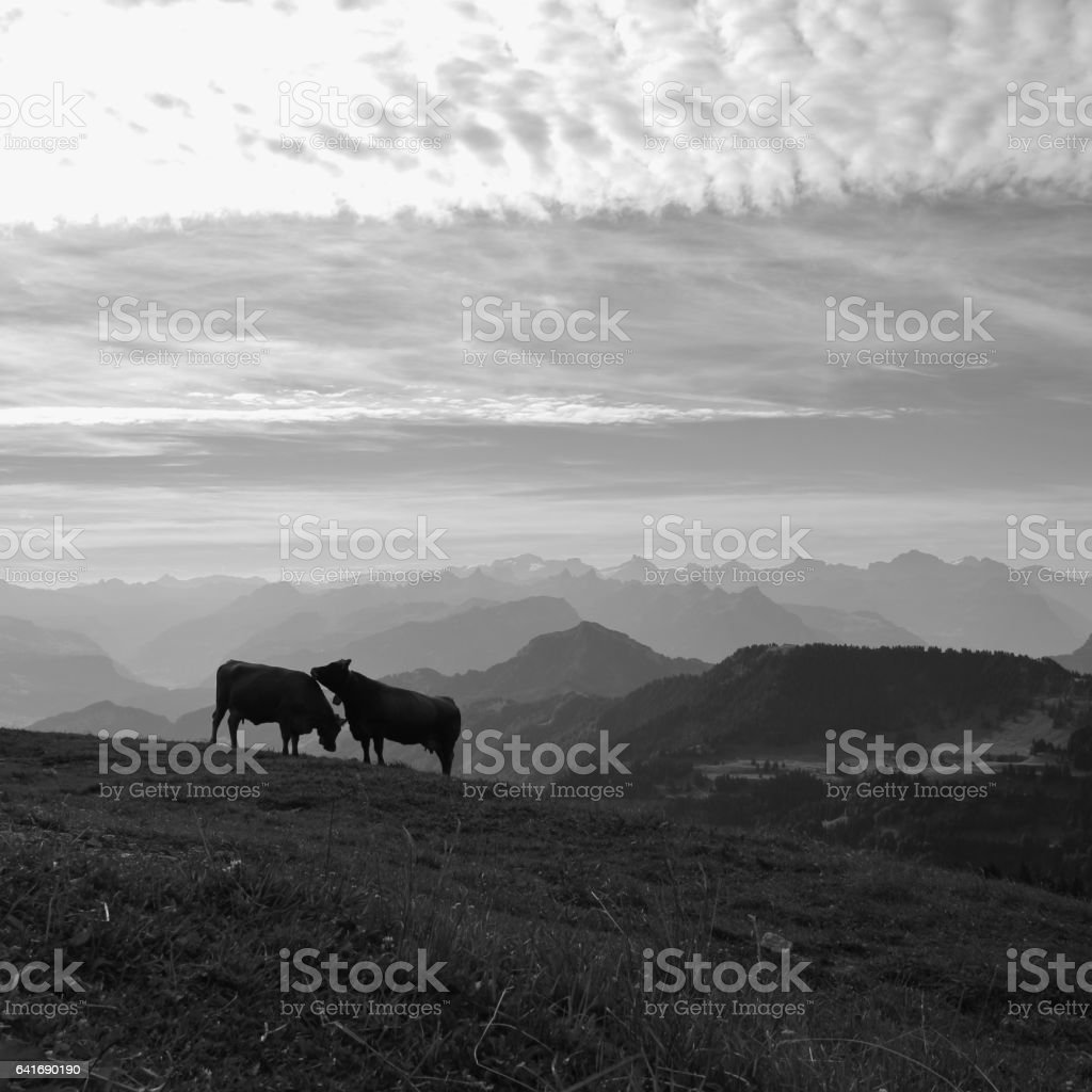 Two cows on top of mount Rigi and mountain ranges stock photo