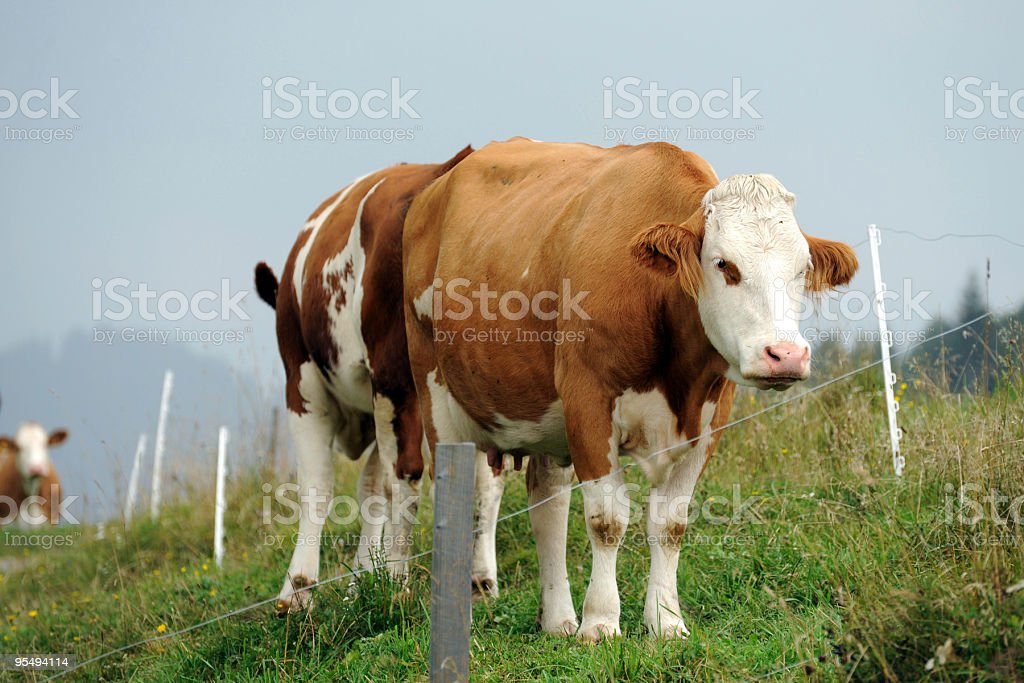 Two Cows stock photo