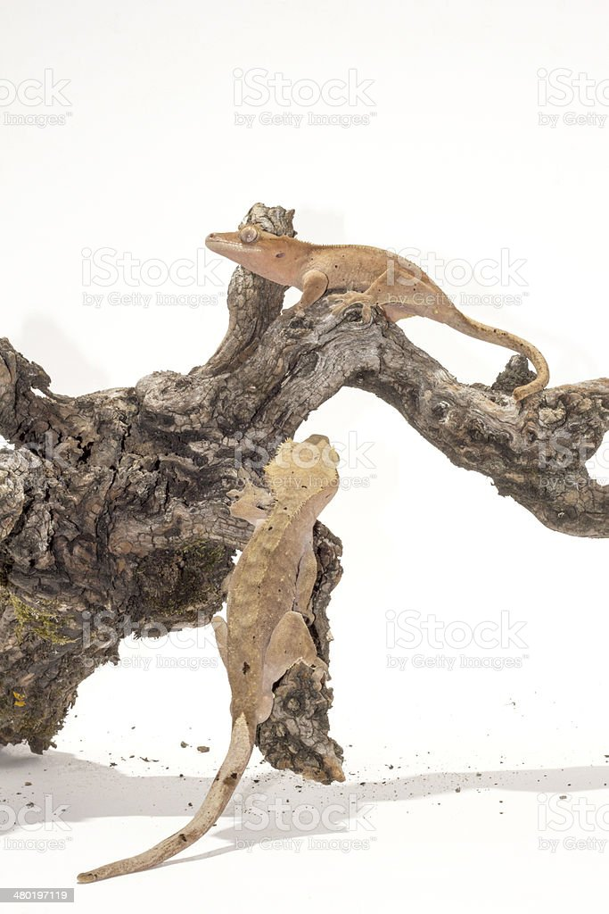 Two Crested Geckos on the branch royalty-free stock photo