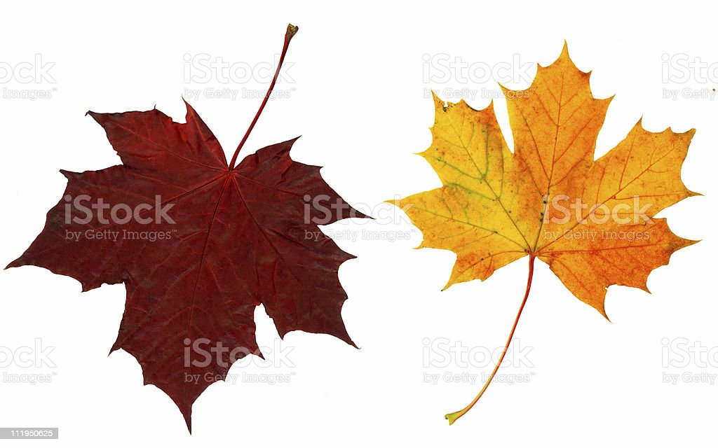 Two crispy brown autumn leaves royalty-free stock photo
