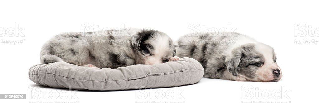 Two crossbreed puppy sleeping in a crib isolated on white stock photo