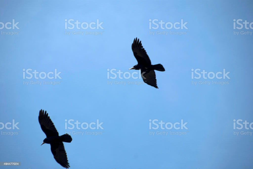Two crows flying stock photo