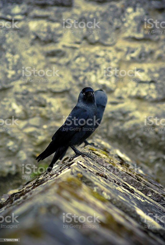 Two Crows on Castle wall, Cahir, Tipperary Ireland stock photo