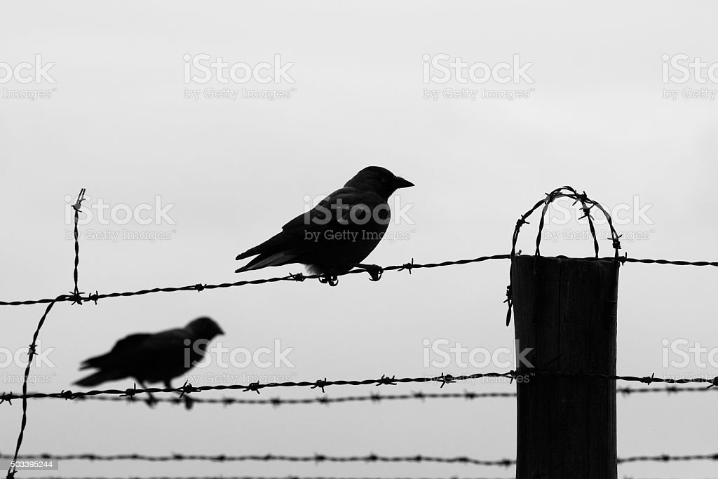 Two crows on the barb wire fence stock photo