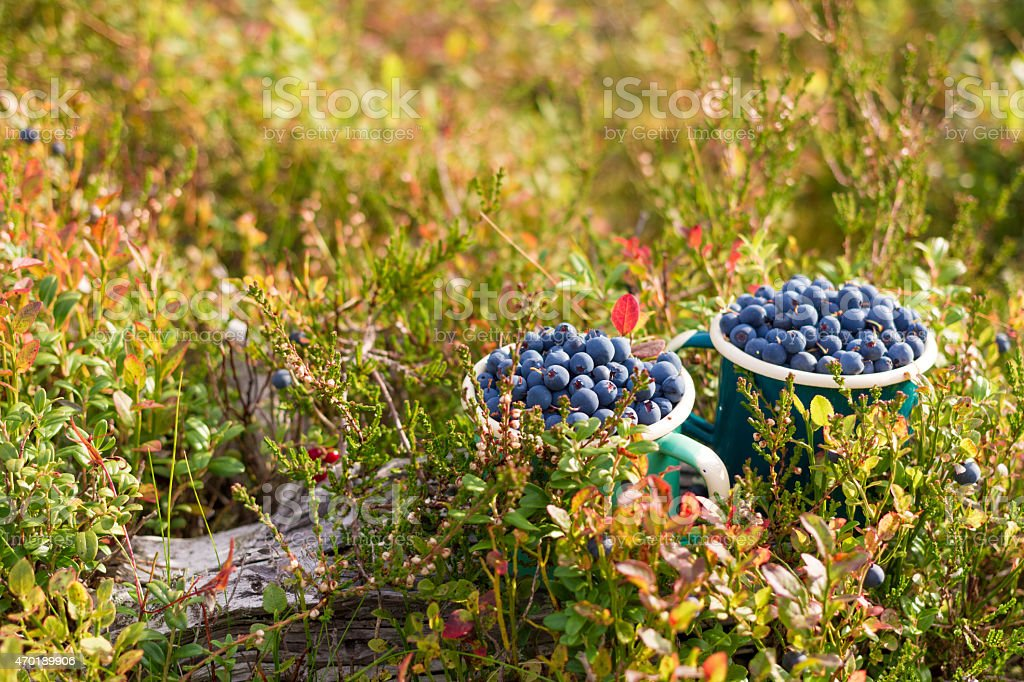 Two Cups of Wild Blue Berries stock photo