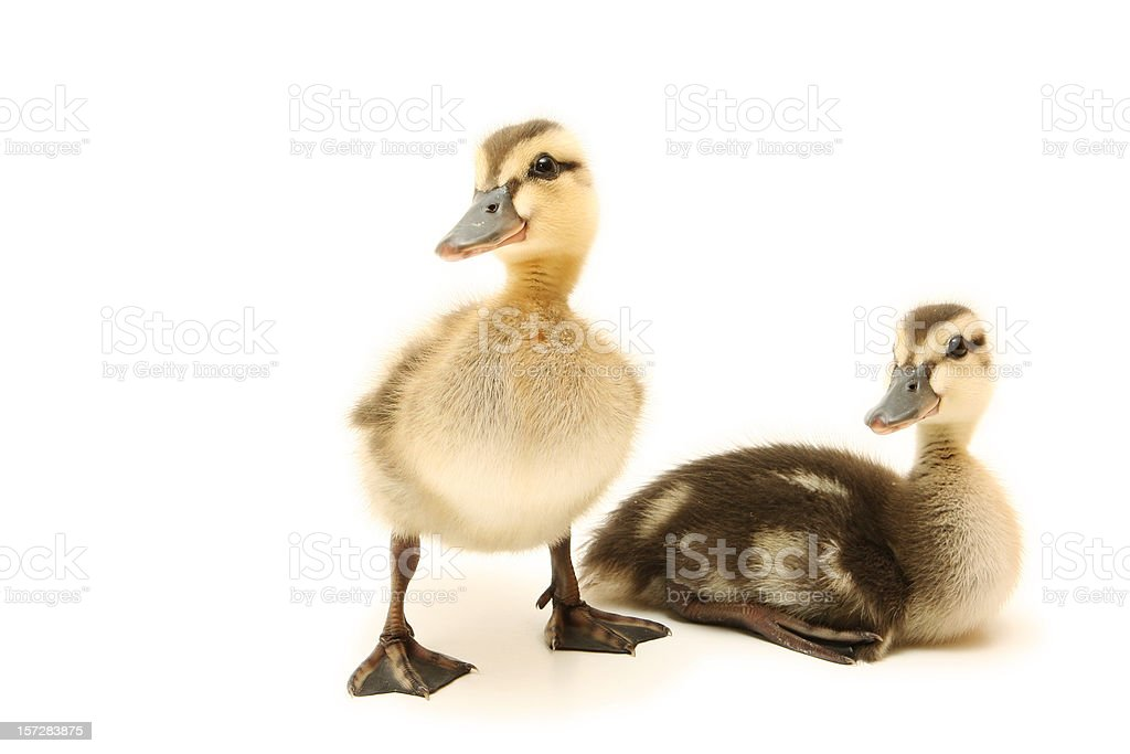Two Curious Ducklings royalty-free stock photo