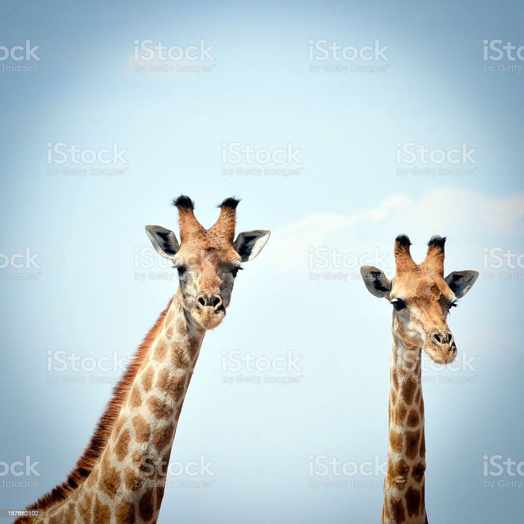 Two curious giraffes against blue sky in  Serengeti National Park stock photo