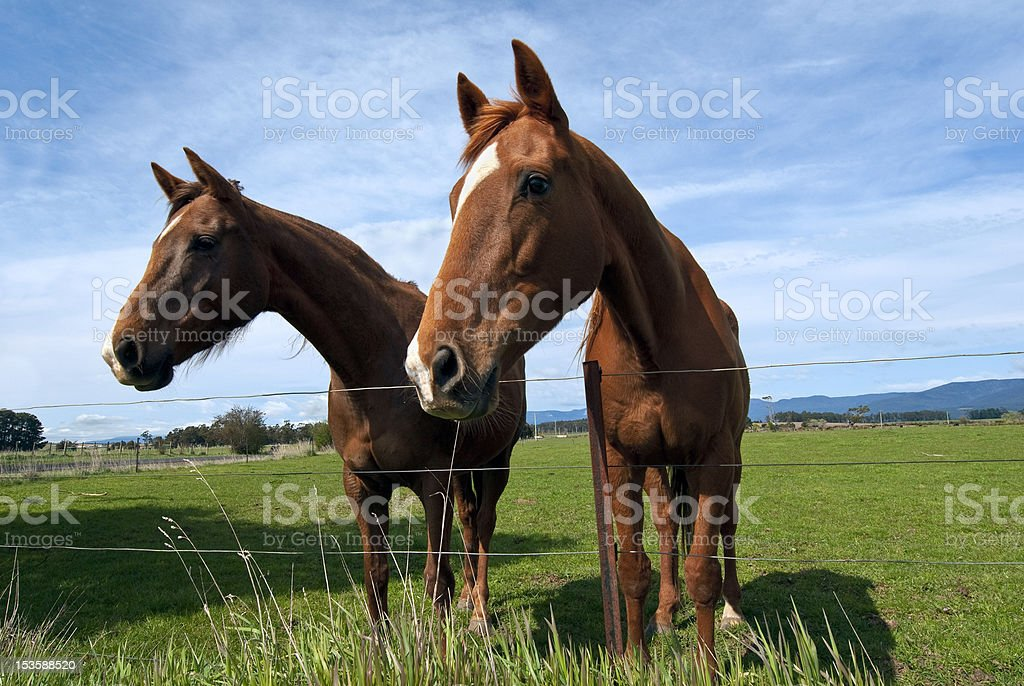 Two curious horses royalty-free stock photo