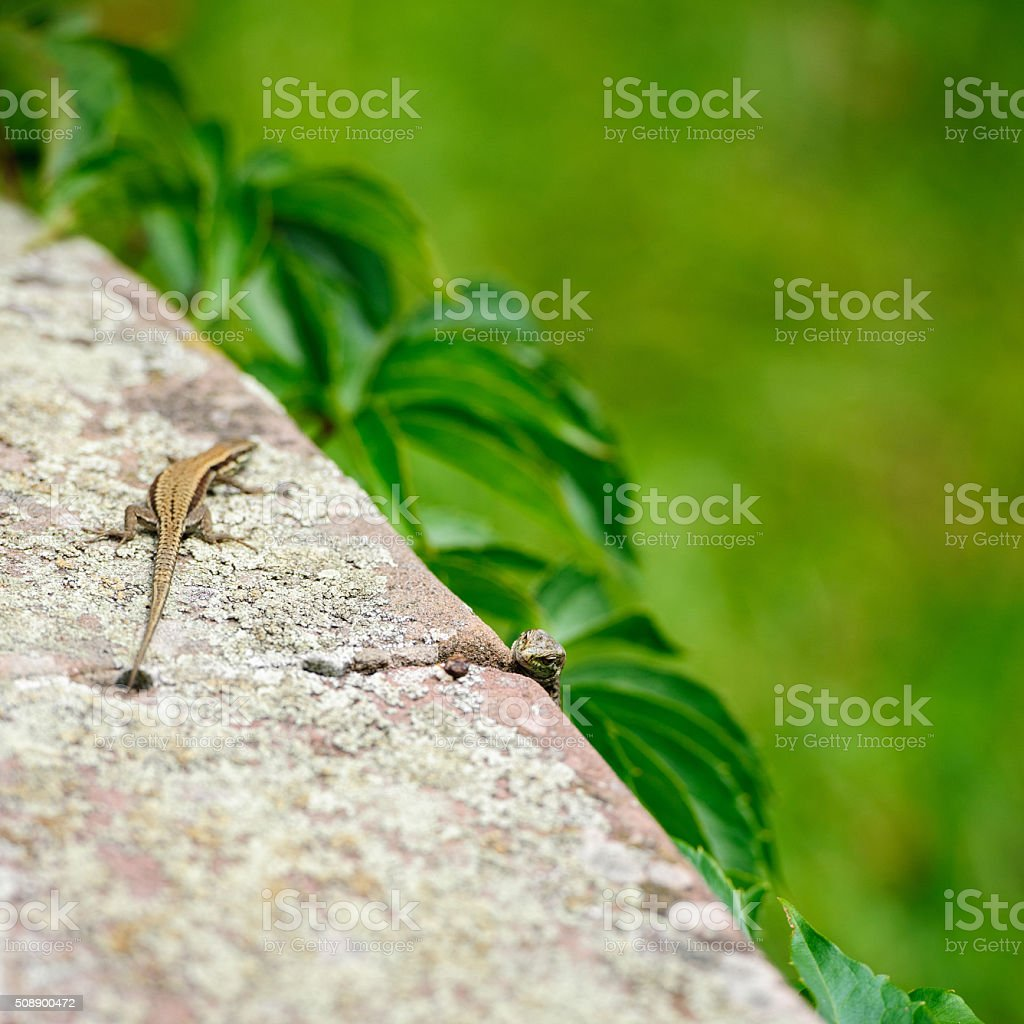 Two curious lizards on the stone stock photo