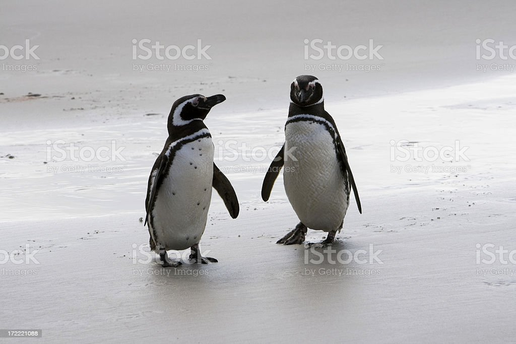 two curious magellanic penguins stock photo