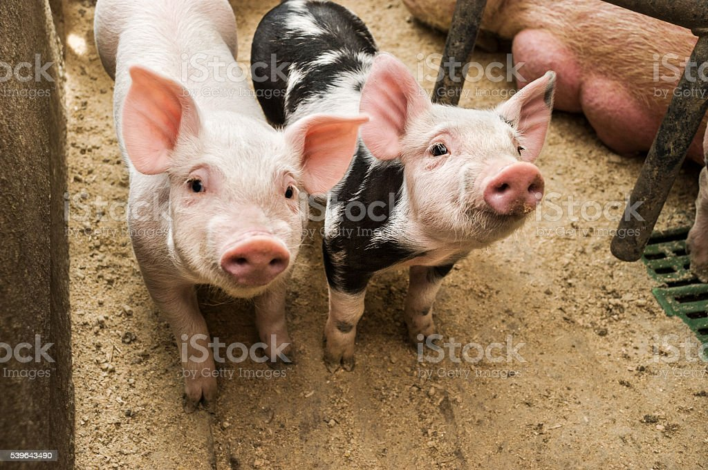 Two curious piglets in pigpen stock photo