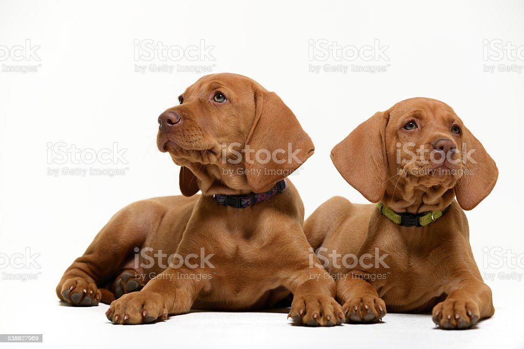 Two curious Vizsla puppies on white background stock photo