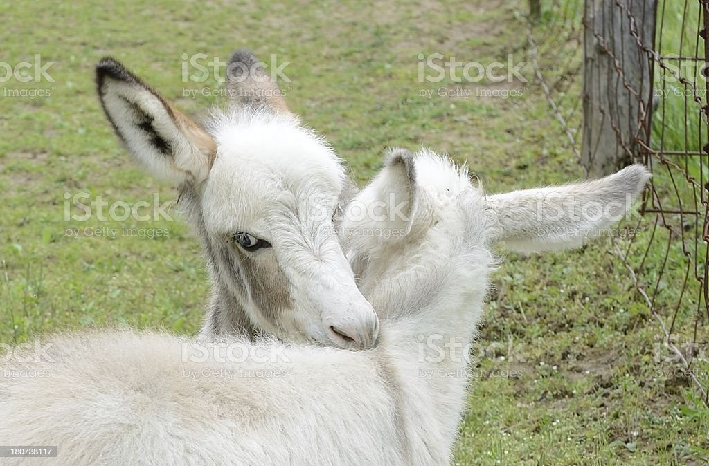 Two cute Baby Donkey royalty-free stock photo