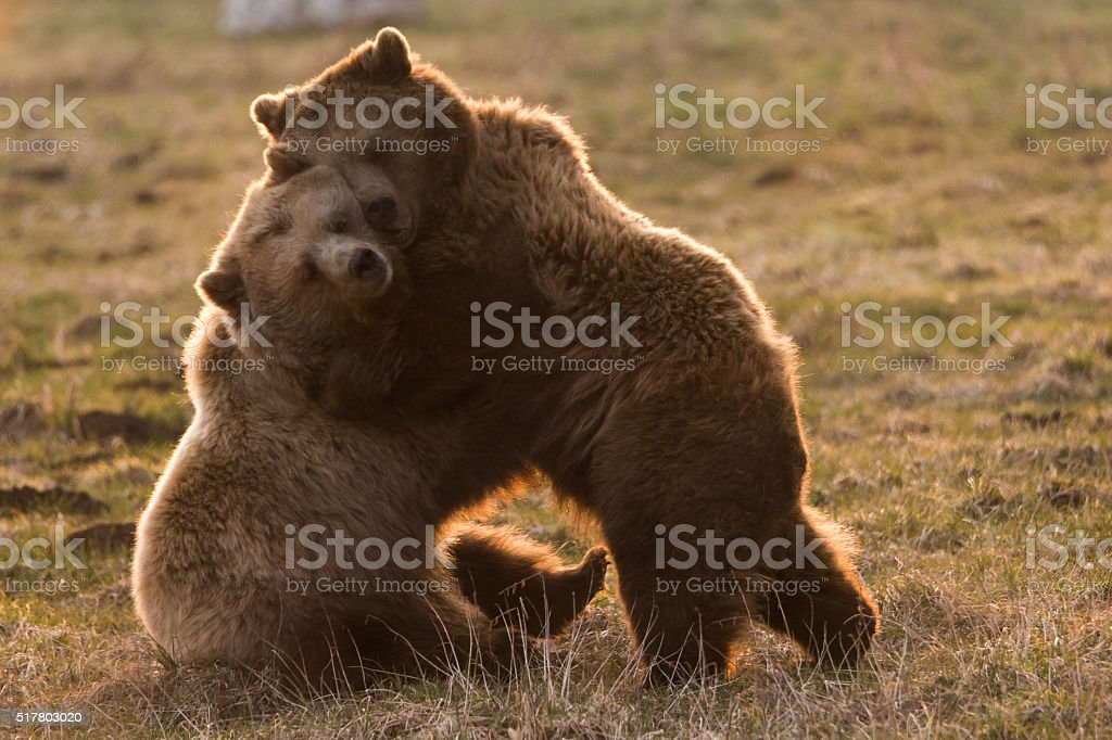 Two cute bears cuddle together stock photo