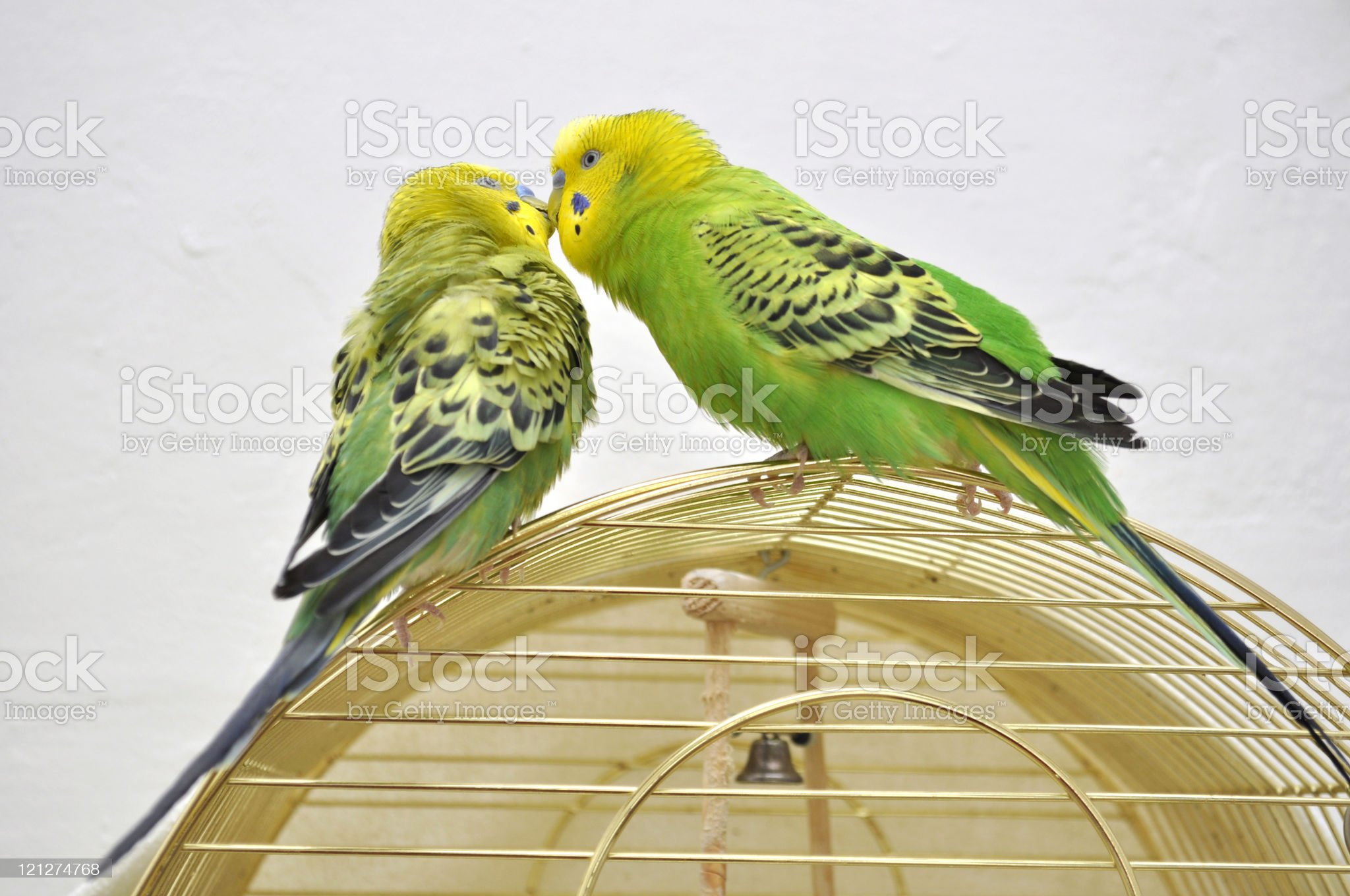 Two cute budgerigars royalty-free stock photo