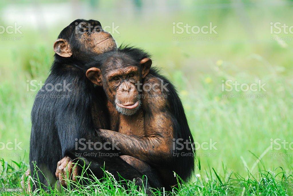 two cute chimpanzees stock photo