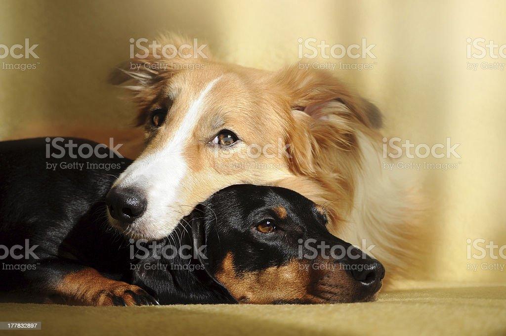 Two cute dog dreaming royalty-free stock photo